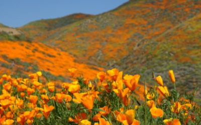 California Poppy is Blooming